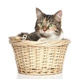 γάτα διασταύρωσης καλαθ Στοκ Φωτογραφία