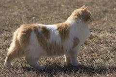 γάτα διασταύρωσης μανξιανά Στοκ εικόνες με δικαίωμα ελεύθερης χρήσης