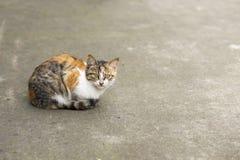 Γάτα δύο χρώματος Στοκ Φωτογραφία