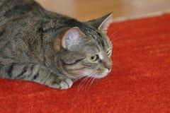 γάτα επίθεσης στοκ φωτογραφία