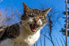 γάτα επικίνδυνη Στοκ Φωτογραφίες