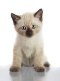 γάτα εσωτερική Στοκ Φωτογραφίες