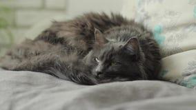 Γάτα εσωτερική απόθεμα βίντεο
