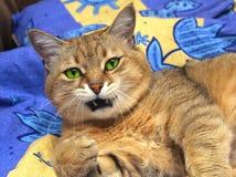 γάτα εσωτερική Στοκ φωτογραφία με δικαίωμα ελεύθερης χρήσης