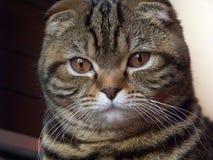 γάτα ευγενής Στοκ Φωτογραφίες