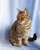 γάτα ευρωπαϊκά Στοκ Εικόνες