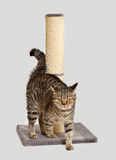 γάτα ευρωπαϊκά Στοκ εικόνα με δικαίωμα ελεύθερης χρήσης