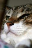 γάτα ευρωπαϊκά Στοκ Φωτογραφίες