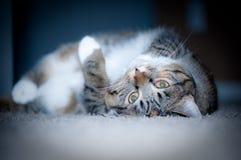 γάτα εύθυμη Στοκ εικόνες με δικαίωμα ελεύθερης χρήσης