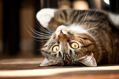 γάτα εύθυμη Στοκ Φωτογραφίες
