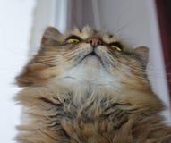 Γάτα, ζώο, κατοικίδιο ζώο, γατάκι, αιλουροειδής, χαριτωμένος, εσωτερικό, γούνα, λευκό, πορτρέτο, γατάκι, κατοικίδια ζώα, θηλαστικ στοκ εικόνα