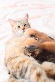 γάτα η περιποίηση γατακιών &t Στοκ Εικόνες