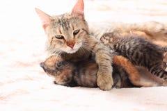 γάτα η περιποίηση γατακιών &t Στοκ φωτογραφία με δικαίωμα ελεύθερης χρήσης