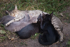 γάτα η περιποίηση γατακιών &t στοκ φωτογραφία