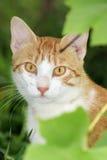 γάτα θάμνων Στοκ Εικόνες