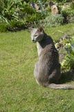 γάτα ιώδης Ασιάτης Στοκ εικόνα με δικαίωμα ελεύθερης χρήσης