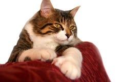 γάτα κάτω από τη μόλβη Στοκ Εικόνες