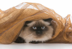 γάτα κάτω από το κάλυμμα Στοκ Εικόνα