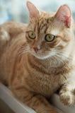 γάτα κίτρινη Στοκ Εικόνες