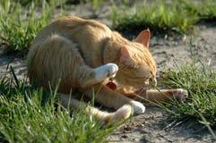 γάτα κίτρινη Στοκ φωτογραφίες με δικαίωμα ελεύθερης χρήσης