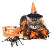 Γάτα και αποκριές του Μαίην coon Στοκ Φωτογραφία
