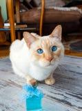 Γάτα και μπλε Κολωνία Στοκ Εικόνες