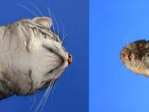 Γάτα και ποντίκι πρόσωπο με πρόσωπο Στοκ εικόνα με δικαίωμα ελεύθερης χρήσης