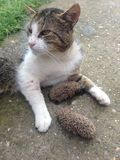 Γάτα και σκαντζόχοιρος Στοκ εικόνα με δικαίωμα ελεύθερης χρήσης
