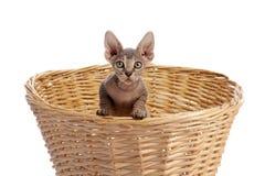 γάτα καλαθιών sphynx staw Στοκ φωτογραφία με δικαίωμα ελεύθερης χρήσης