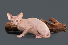 Γάτα Καναδικό γατάκι sphynx στο γκρίζο υπόβαθρο Στοκ Φωτογραφίες