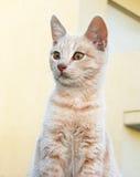 γάτα καστανόξανθη Στοκ Εικόνα