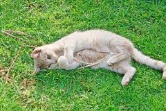 γάτα καστανόξανθη Στοκ φωτογραφία με δικαίωμα ελεύθερης χρήσης