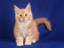 Γάτα κατοικίδιων ζώων γατακιών Στοκ Φωτογραφίες