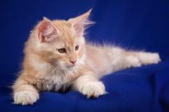 Γάτα κατοικίδιων ζώων γατακιών Στοκ Εικόνες