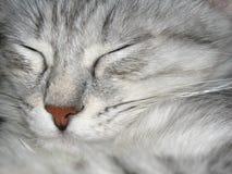γάτα κοιμισμένη Στοκ φωτογραφίες με δικαίωμα ελεύθερης χρήσης