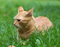 γάτα κοκκινομάλλης Στοκ Εικόνα