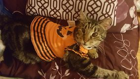 Γάτα κολοκύθας στοκ φωτογραφίες με δικαίωμα ελεύθερης χρήσης