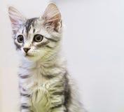 Γάτα κουταβιών της σιβηρικής φυλής, ασημένια έκδοση Στοκ φωτογραφία με δικαίωμα ελεύθερης χρήσης
