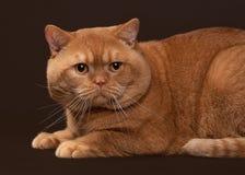 91673a2d2d4f Γάτα Κόκκινη βρετανική αρσενική γάτα στο σκοτεινό καφετί υπόβαθρο στοκ  εικόνα με δικαίωμα ελεύθερης χρήσης