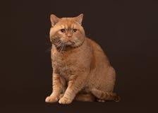 74c4aa0462f7 Γάτα Κόκκινη βρετανική αρσενική γάτα στο σκοτεινό καφετί υπόβαθρο στοκ  εικόνες