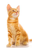 γάτα λίγα κόκκινα Στοκ Φωτογραφίες
