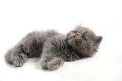 γάτα λίγα περσικά Στοκ Εικόνες