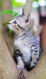 γάτα λίγα ταϊλανδικά Στοκ Εικόνες