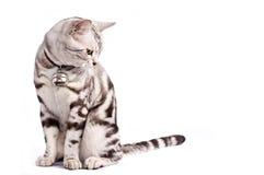 γάτα λιπαρή Στοκ εικόνα με δικαίωμα ελεύθερης χρήσης