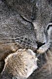 γάτα λουσίματος Στοκ Εικόνες