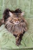 Γάτα Μαίην Coon Στοκ φωτογραφία με δικαίωμα ελεύθερης χρήσης