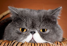 Γάτα ματιών Στοκ Φωτογραφία