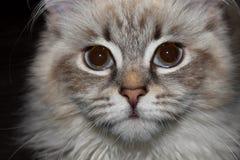 Γάτα μεταμφιέσεων Neva στοκ εικόνα