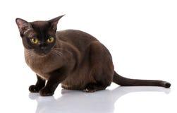 Γάτα με τα κίτρινα μάτια στο άσπρο υπόβαθρο Στοκ φωτογραφία με δικαίωμα ελεύθερης χρήσης