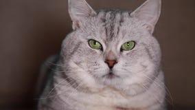 Γάτα με τα μεγάλα πράσινα μάτια απόθεμα βίντεο